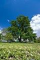 Віковий дуб, Голосіївський район вул. Кащенка2.jpg