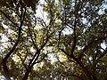 Крони дерев Міського Саду.jpg