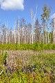 Мочажина на болоті у заказнику Мельницький.jpg