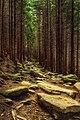 Містичний ліс біля полонини Смотрич.jpg