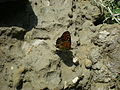 Шашечниця (Melitaea diamina).jpg