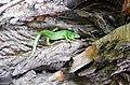 Ящірка прудка Фото Гаврилюк С.В.jpg