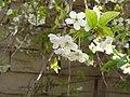 شکوفه های گیلاس - روستای دورودان - تویسرکان - panoramio.jpg