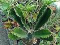 گلخانه کاکتوس دنیای خار در قم. کلکسیون انواع کاکتوس 37.jpg