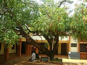 Union Christian College, Aluva - The tree planted by Gandhi in 1925