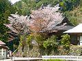 下市町才谷 多聞院 Tamon-in, Saitani 2011.4.21 - panoramio.jpg