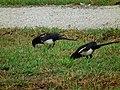 喜鵲 Oriental Magpies (Pica serica) - panoramio.jpg