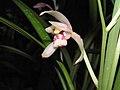 四季雪姬 Cymbidium ensifolium 'Snow Lady' -香港沙田國蘭展 Shatin Orchid Show, Hong Kong- (12185886313).jpg
