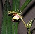 報歲八奇利 Cymbidium sinense -香港沙田國蘭展 Shatin Orchid Show, Hong Kong- (12204560685).jpg