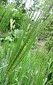 大麥 Hordeum vulgare -比利時 Ghent University Botanical Garden, Belgium- (9219874433).jpg