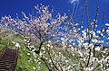 広橋梅林 Hirohashi-bairin 2014.3.22 - panoramio (1).jpg