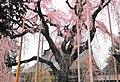 慈雲寺のしだれ桜 - panoramio (2).jpg