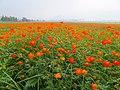 新社花海 Xinshe Flower Carpet - panoramio (1).jpg