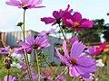 楓樹坑花海 Flower fields in Fengshukeng - panoramio.jpg