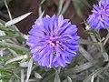 矢車菊 Centaurea cyanus -北京花卉大觀園 The World Flower Garden, Beijing- (9200929654).jpg