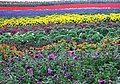 矮牽牛 Petunias - panoramio.jpg