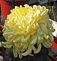 菊花-唐淡黃球 Chrysanthemum morifolium 'Pale Yellow Ball' -中山小欖菊花會 Xiaolan Chrysanthemum Show, China- (11961610744).jpg