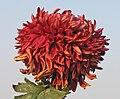 菊花-墨寶石 Chrysanthemum morifolium 'Dark Precious Stone' -中山小欖菊花會 Xiaolan Chrysanthemum Show, China- (11961617054).jpg