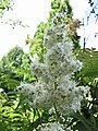蚊子草屬 Filipendula camtschatica -英格蘭 Wisley Gardens, England- (9229776924).jpg