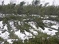 被大雪压倒的竹林 - panoramio.jpg