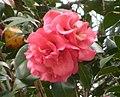 西南紅山茶雜交-海頓 Camellia pitardii hybrid 'Nonie Haydon' -香港公園 Hong Kong Park- (39199395654).jpg
