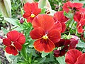 角堇 Viola Gem Scarlet -上海國際花展 Shanghai International Flower Show- (17315345906).jpg