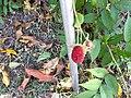 首里城敷地内で展示されているタカイチュビ(オオバライチゴ)の果実.jpg