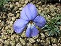 鳥足堇 Viola pedata -日本大阪鮮花競放館 Osaka Sakuya Konohana Kan, Japan- (42205789041).jpg