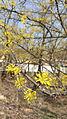 이천 산수유 나무 꽃2.jpg
