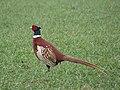 -2019-02-20 Male Pheasant (Phasianus colchicus), Trimingham.JPG