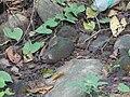 ... ¿ oak leaf ? butterfly (3933704912).jpg
