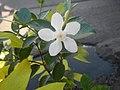 1455Picara White Angel 18.jpg