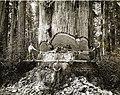 1915 era lumberjacks working among the redwoods in California state.jpg