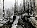 "1937. Large Douglas-firs killed along the Wilson River. Asemum atrum in heart 1"" at basal saw cut. Tillamook Burn, OR. (34829693592).jpg"