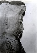 1937. Ponderosa pine stump section showing tree growth rings and fire scars from 1255-1930. Deming Creek. Bly, Oregon. (34049124174).jpg