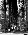 1961. Forest Insect Research group in Northern California redwoods grove. Returning from Western Forest Insect Work Conference at Berkeley. Left-to-right Val Carolin, Ken Wright, Paul Buffam, Russ Mitchell, Wally Guy. (35164587905).jpg