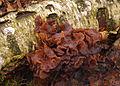 2008-11-02 Tremella foliacea Stereum hirsutum.jpg