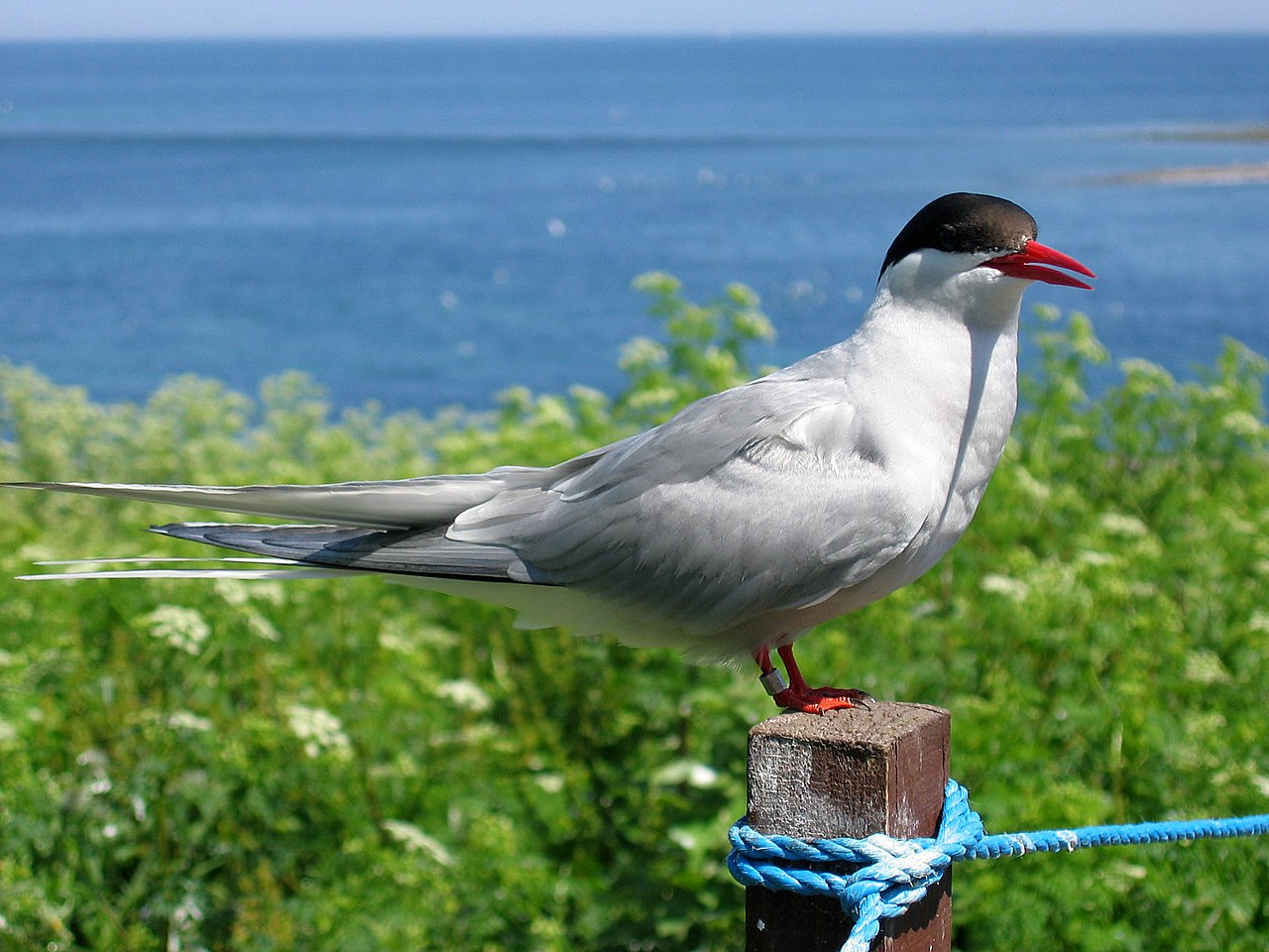 2009 07 02 - Arctic tern on Farne Islands - The blue rope demarcates the visitors' path.JPG