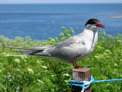 2009 07 02 - Arctic tern on Farne Islands - The blue rope demarcates the visitors' path