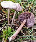 2012-10-26 Mycena pelianthina (Fr.) Quél 320254.jpg
