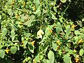2013-08-26 11 31 34 Jewelweed in the sun along the shore of the pond below the Mercer Lake Dam in Mercer County Park.jpg