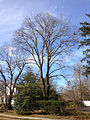 2014-12-30 13 28 28 Norway Maple on Steinway Avenue in Ewing, New Jersey.JPG