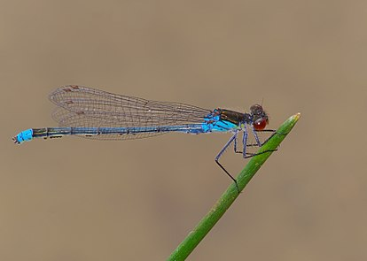 Red-eyed damselfly - Erythromma najas, male