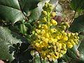 20140316Mahonia aquifolium.jpg