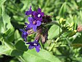 20140827Anchusa officinalis4.jpg
