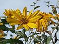 20140928Helianthus tuberosus2.jpg