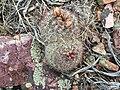 2015-04-15 15 19 08 Ball cactus on Elko Mountain in Elko, Nevada.jpg