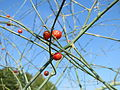 20150822Asparagus officinalis3.jpg