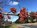 2016-03-02 13 44 43 Male Red Maple blossoms along Lees Corner Road (Virginia State Secondary Route 645) in Chantilly, Virginia.jpg