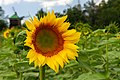 2018-07-15 Sunflowers at Museum of Folk Architecture and Ethnography in Pyrohiv, Kyiv, Ukraine 5.jpg